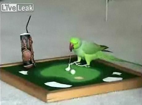 Zobacz papugę, która gra w golfa