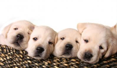 Kupujesz psa? Płać podatek