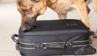 Pies obwąchuje bagaż na lotnisku