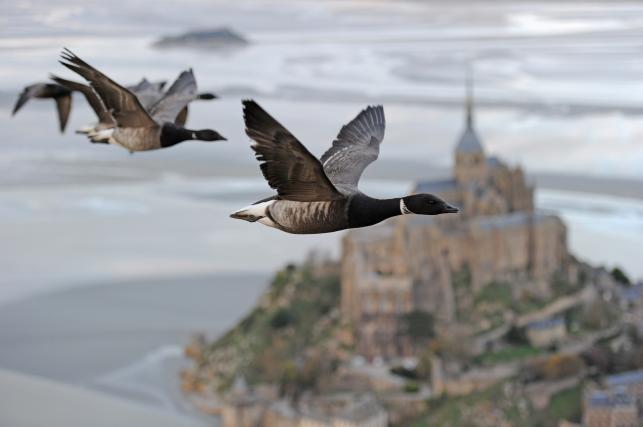 Gęsi nad Mont Saint Michel, Francja