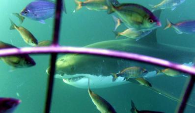 Nurkowanie przy rekinach