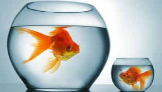 Złote rybki w akwariach