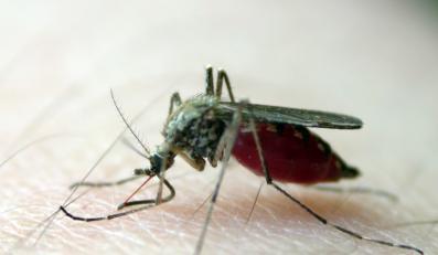 DNA z krwi złodzieja znaleziono w komarze